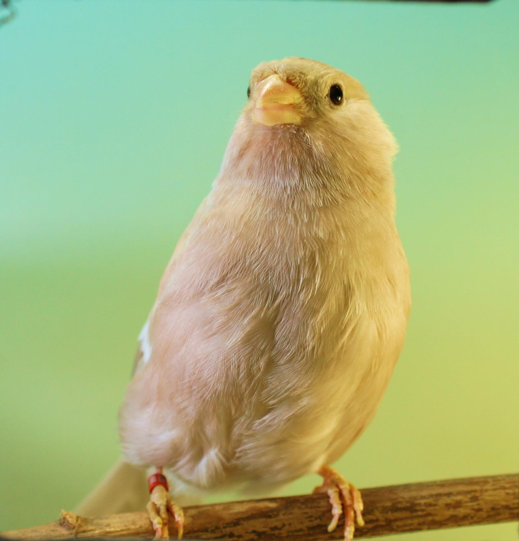 Pollos 2017